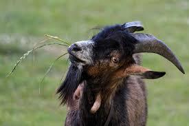 Storia di una capra